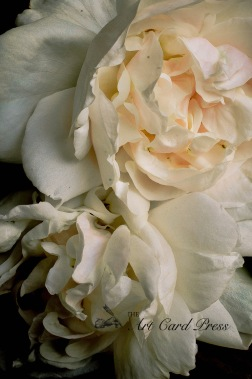 Blush roses 1 watermarked