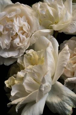 Blush roses 2