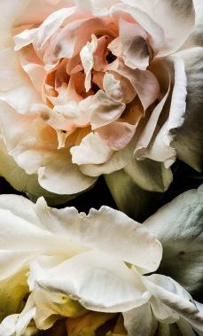 Blush roses 5