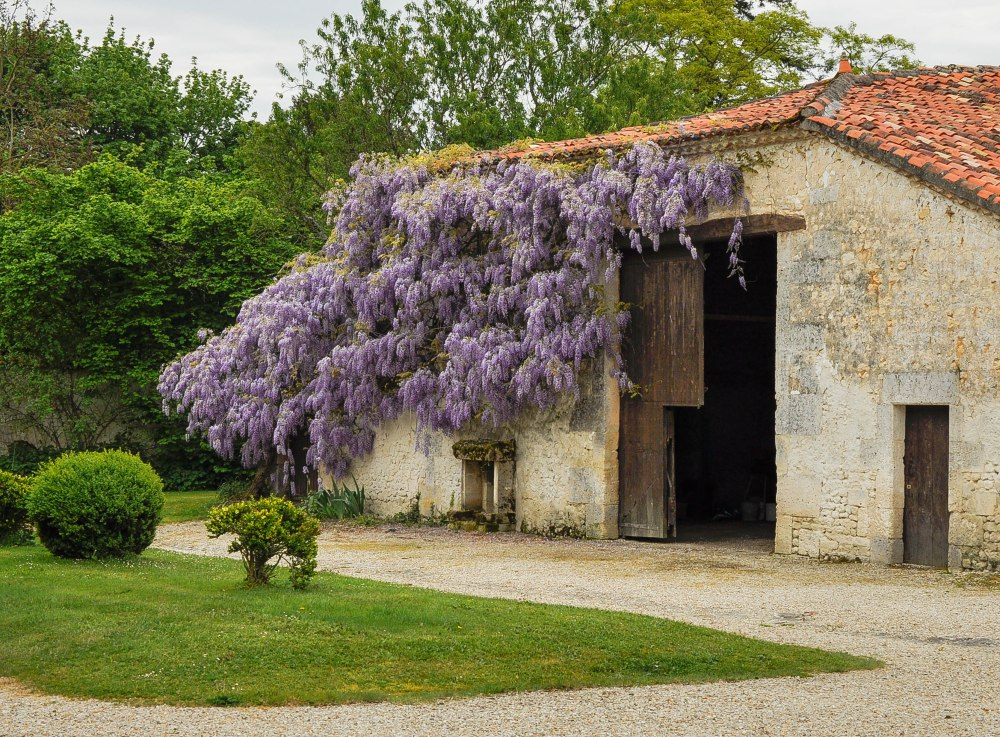 Wisteria full from angle 2