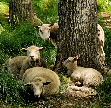 The Sheep Family Robinson