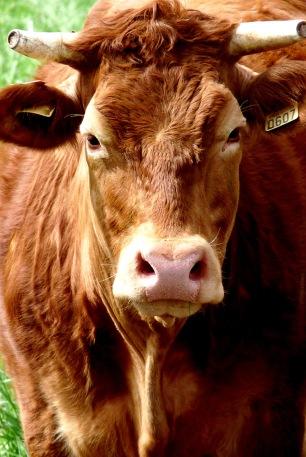 Cow0607