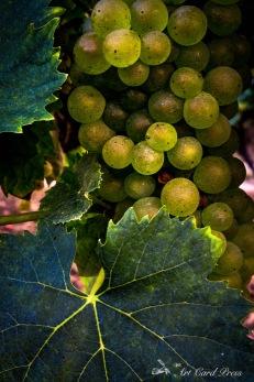 Grapes 11