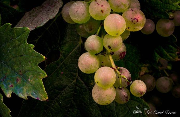 Grapes 16