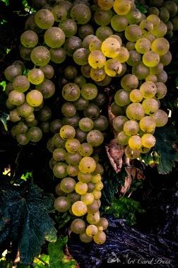 Grapes 5