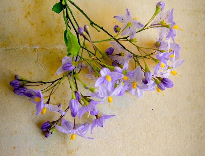 Solanum 1