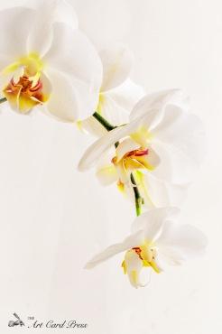 Orchids 4-001