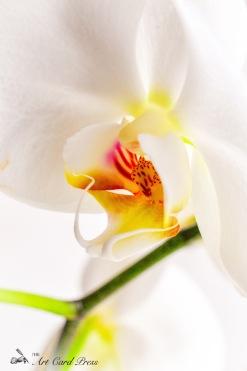 Orchids 6-001