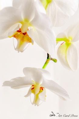 Orchids 7-001