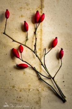 Rosehips 1