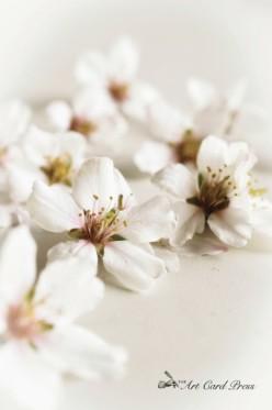 Almond Blossom 8-001
