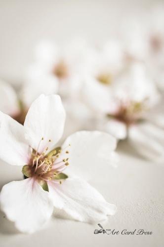 Almond Blossom 9-001