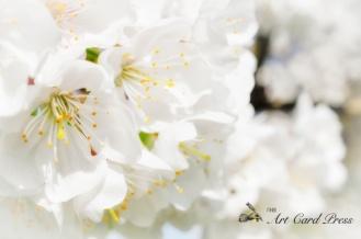 Blossom trees-010
