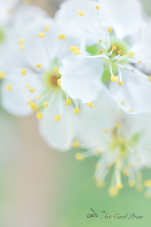 Blossom trees-2