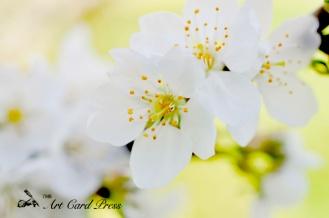 Blossom trees-4