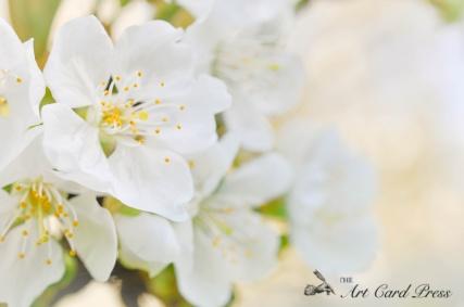 Blossom trees-5
