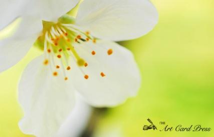 Blossom trees-6