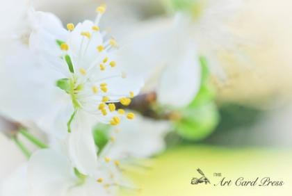 Blossom trees-7
