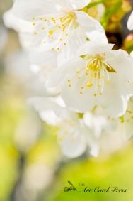 Blossom trees-8