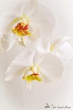 Orchids 2