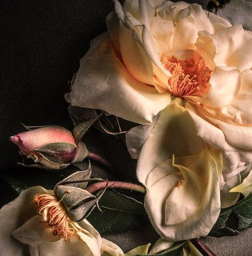 Faded Roses 15-001