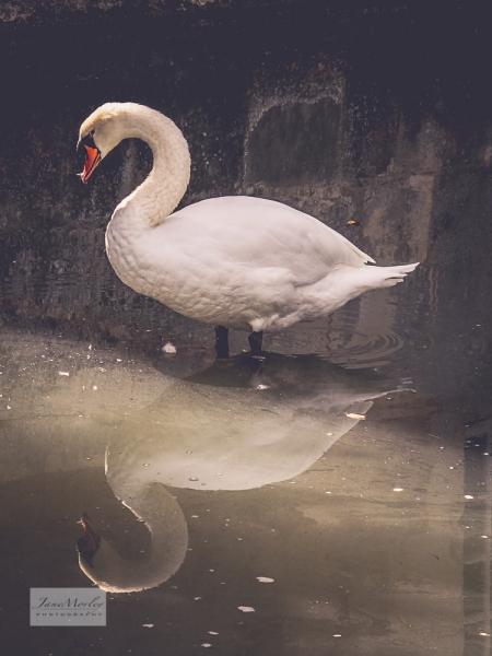 Lignières swan 2