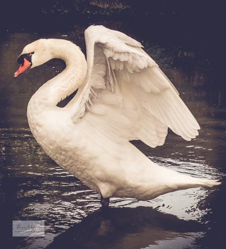 Lignières swan 3