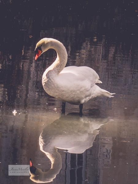 Lignières swan_-2