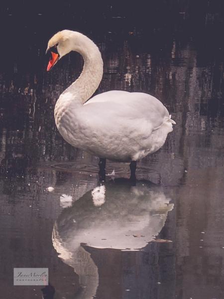 Lignières swan_-5