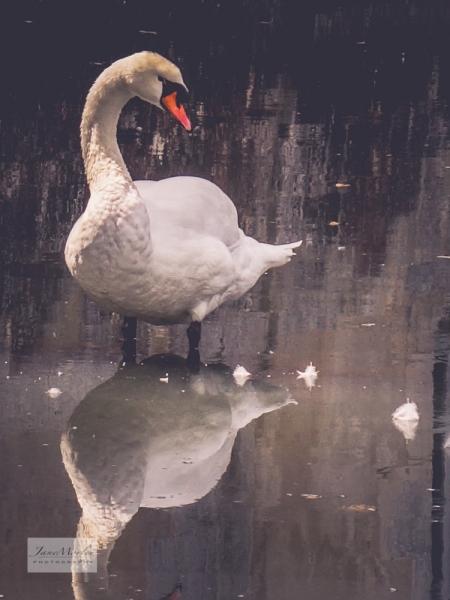 Lignières swan_-7