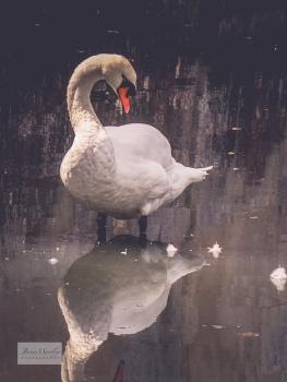Lignières swan_-8