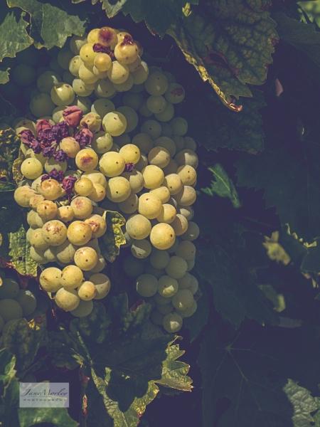 Grapes 4