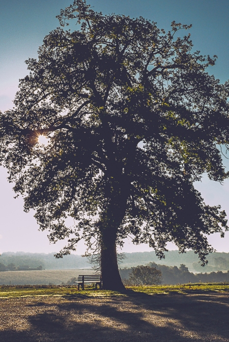Morning sun through the oak tree_