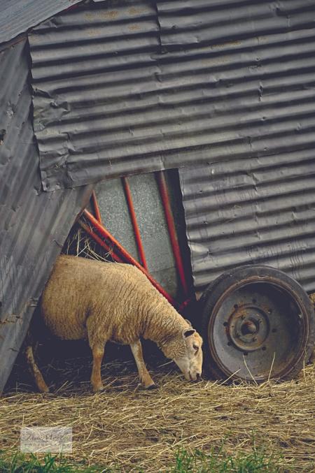 Sheep and House 4