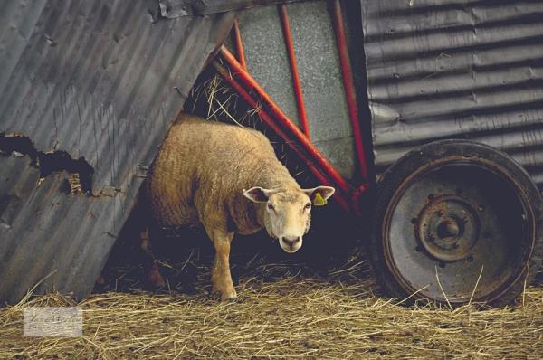 Sheep and House 5