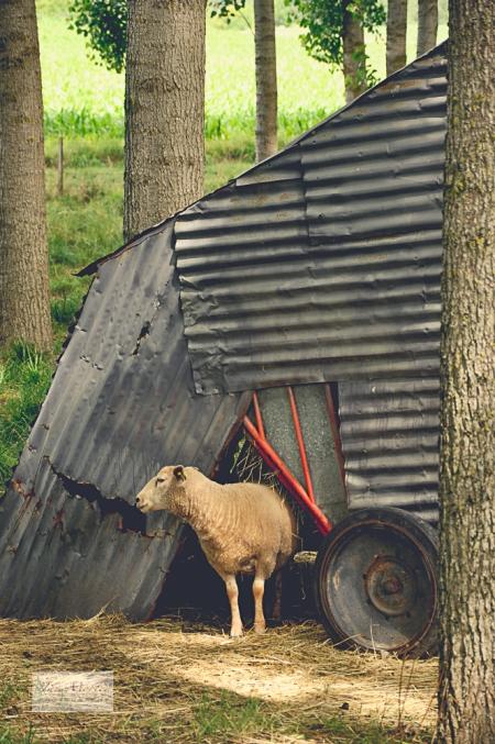 Sheep and House 8