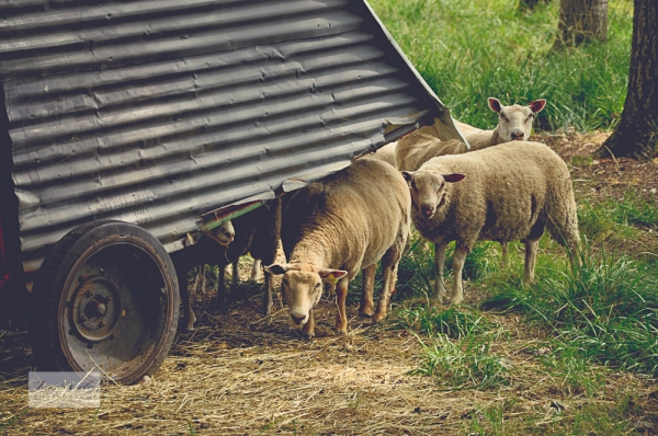 Sheep and House Nosey Neighbours_