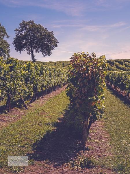 Vines 4