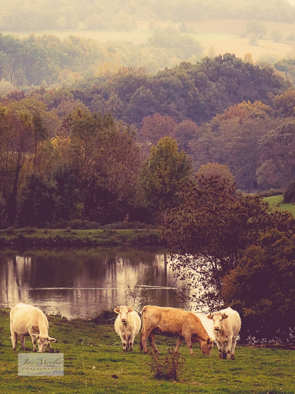 Autumn view with cows 2