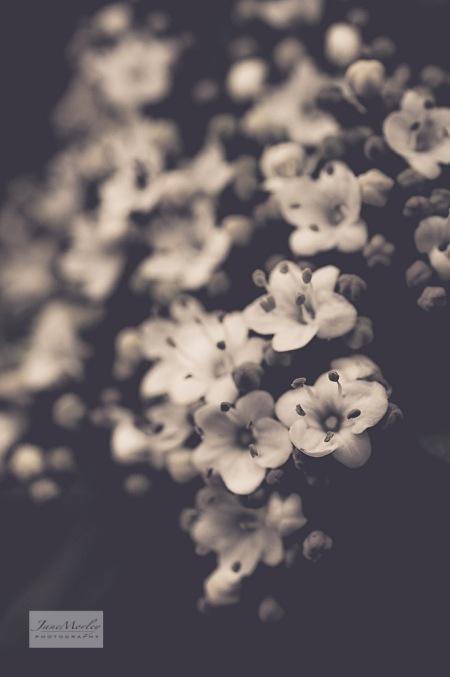 Winter Blossom mono