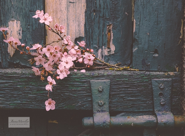 Blossom and old door 2