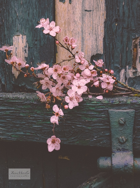 Blossom and old door 3