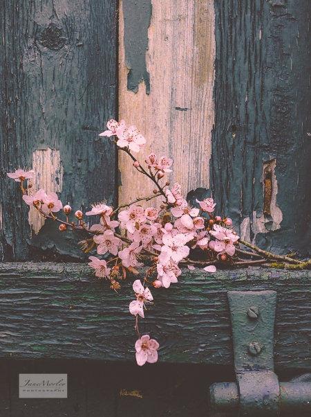 Blossom and old door